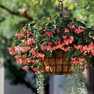 hanging-begonia-m